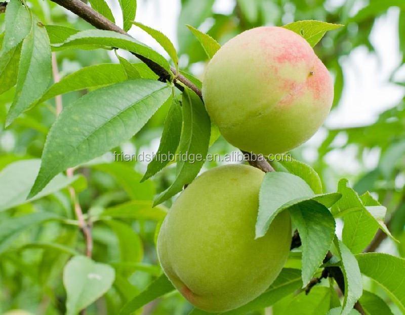 Low price Peach fruit tree seedling from China
