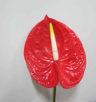 Wide variety top sell anthurium plants for sale