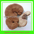 Good quality Dried Ganoderma lucidum mushroom