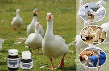 antiseptic livestock disinfectant, animal disinfection care