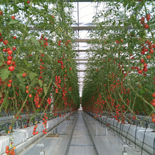 Agricultural glass panel galvanized steel structure greenhouse for tomato