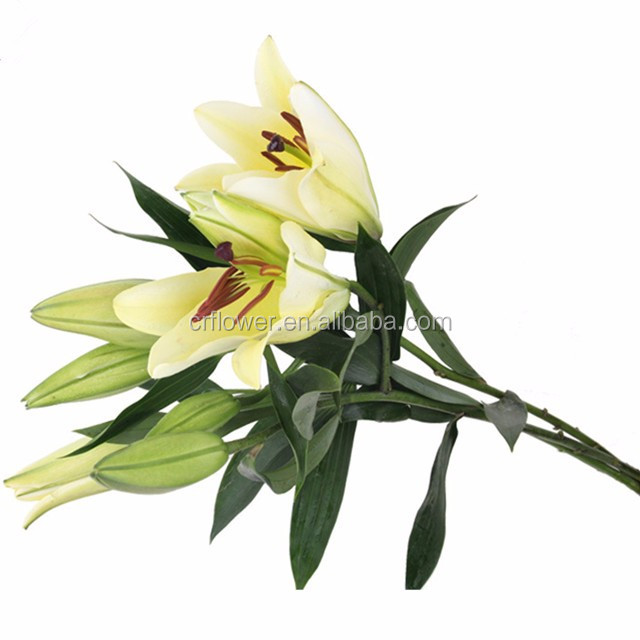 Good smell Oriental fresh cut lily color Siberia more blooms lily