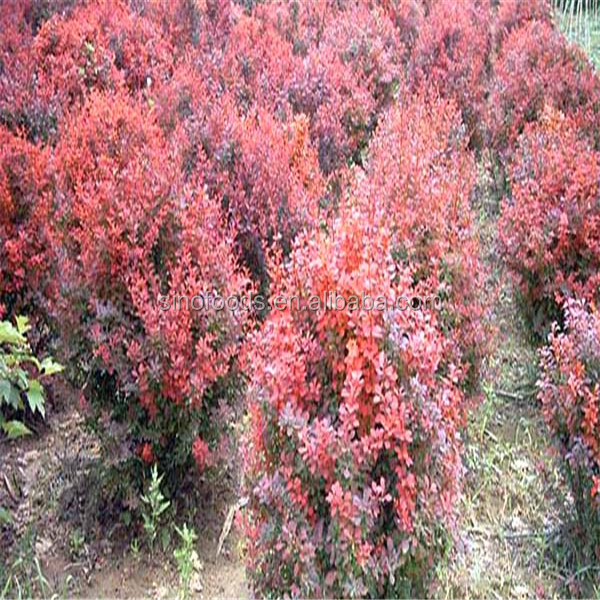 Hong Ye Xiao Bo Best Price Good Quality Berberis Plant
