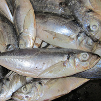 Good Quality Canned Frozen Horse Mackerel Price