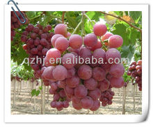 Superior Grapes for sale
