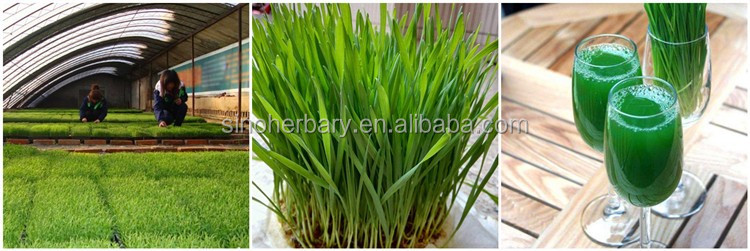 2017 fresh wheat grass seeds for sprouting vegetable