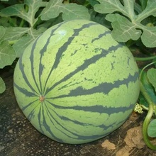 S130 Xi gua Bulk Supply Black High Quality Watermelon Seeds