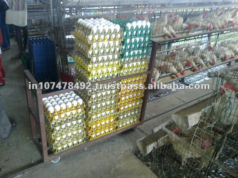 eggs for exports