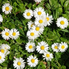 GMP HALAL chamomile plant extract