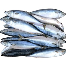 Norway mackerel, frozen mackerel fish