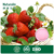 100% freeze dried fruit strawberry powder for ice cream and beverage
