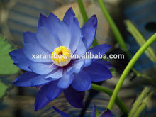 100% nature organic Lotus Extract blue lotus extract in Bulk
