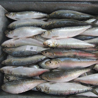 Cheap Price For Frozen Sardine For Blue Fin Tuna Bait