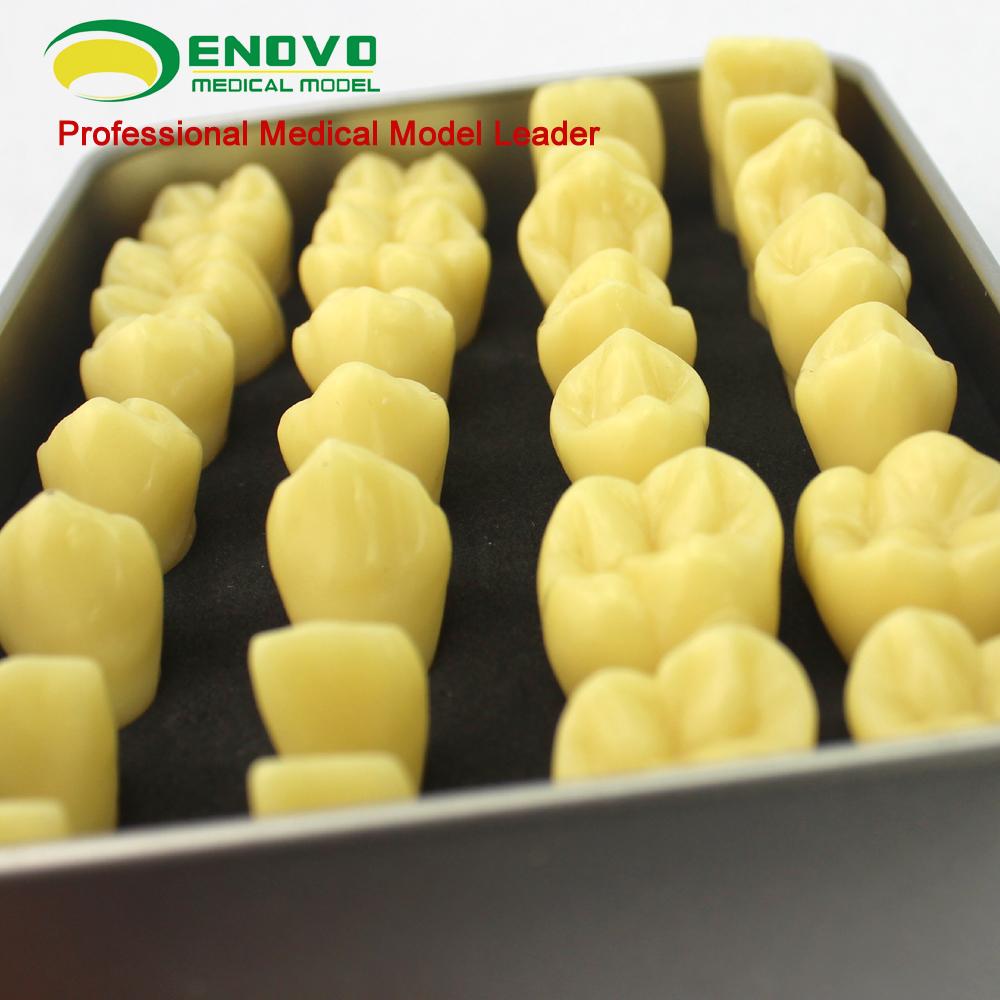 Venta 12573 resina diente humano anatomía modelo con la aleación ...