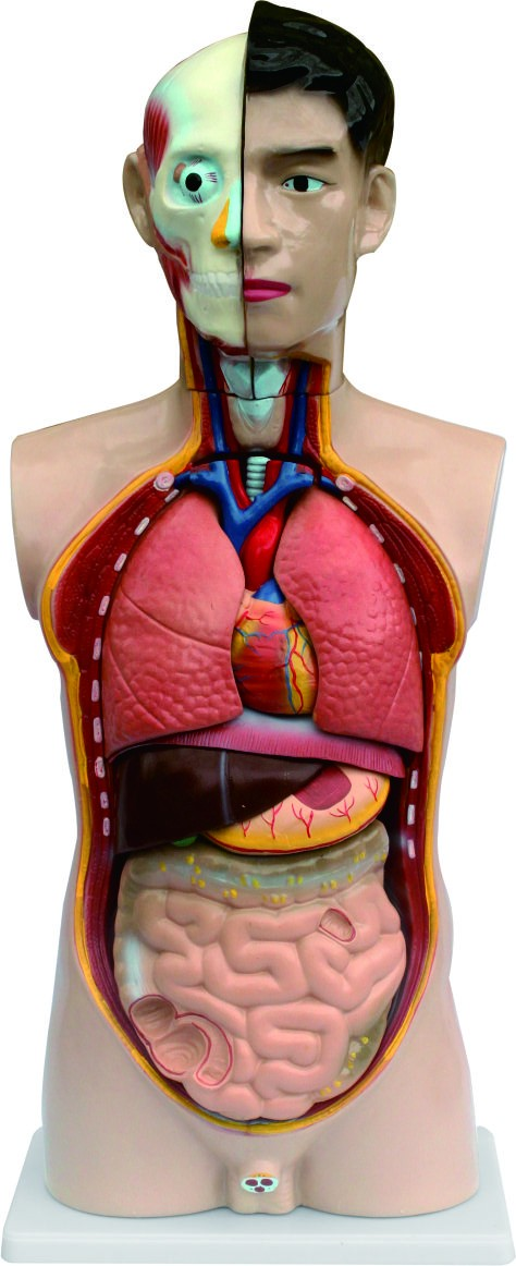 85cm PVC Anatomical human male torso model for teaching model 18parts