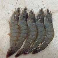 hot sale high quality live shrimp for sale