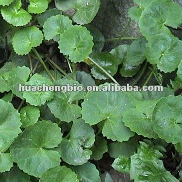 High Quality Gotu Kola P.E ( Asiaticoside/Madecassoside)