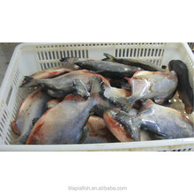 Bulk frozen black pacu <strong>fish</strong> for Africa