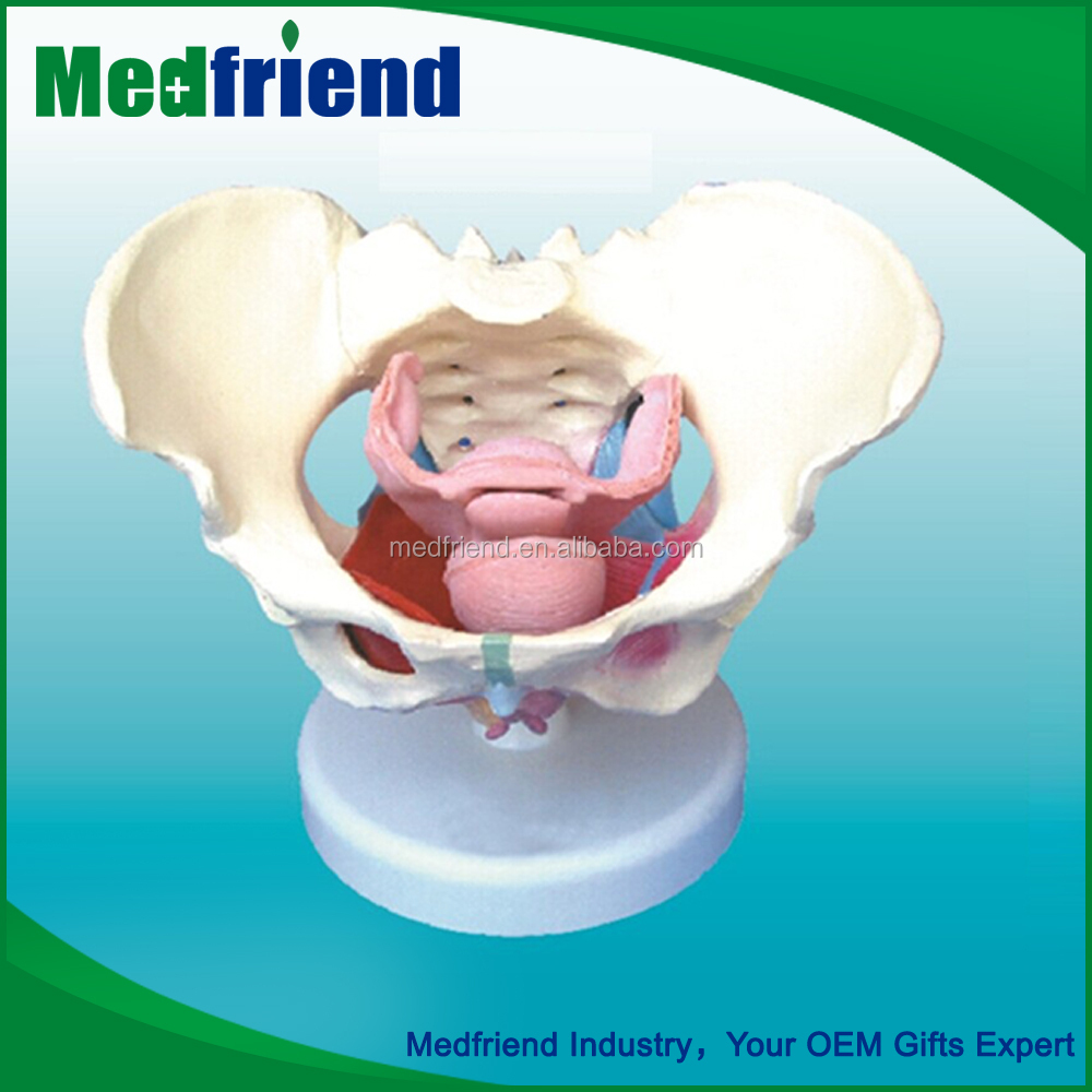 MFM013 Cheap And High Quality 3d Model Of Female Pelvic And Muscles