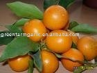 New Fresh Nanfeng baby mandarin orange