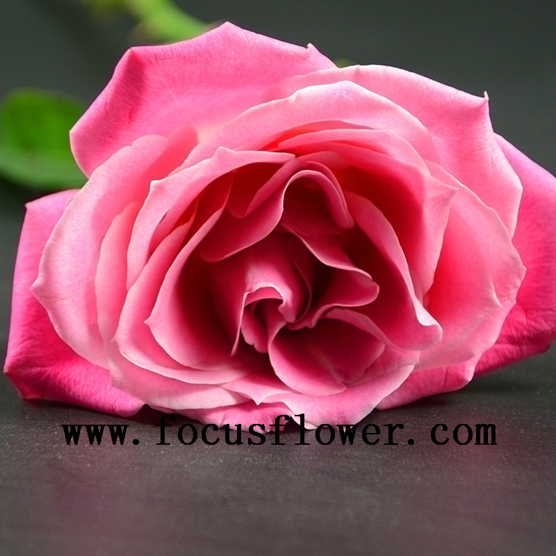 High quality best pink fresh cut rose flowers climbing roses export fresh cut flowers roses flower growers directly supply