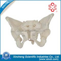 Pelvis Model For Biology Science And Biology Science