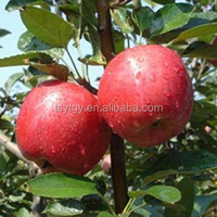 High quality Chinese red star apple best price red star apples sweet and fresh red star apples