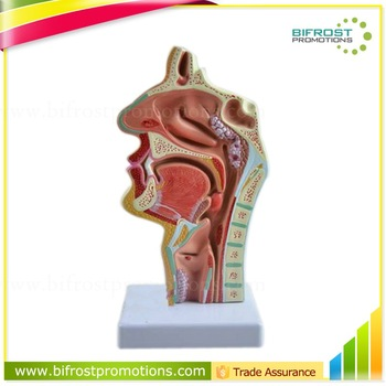 Mouth Nose Throat Pharynx Education Human Body Anatomy ENT Model