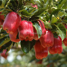 red delicious/fuji/qinguan/golden apple from china factory