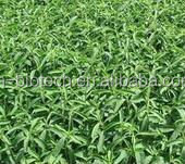 Sugar Substitute Stevia Leaf Extract