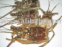 Frozen Florida Lobster Heads