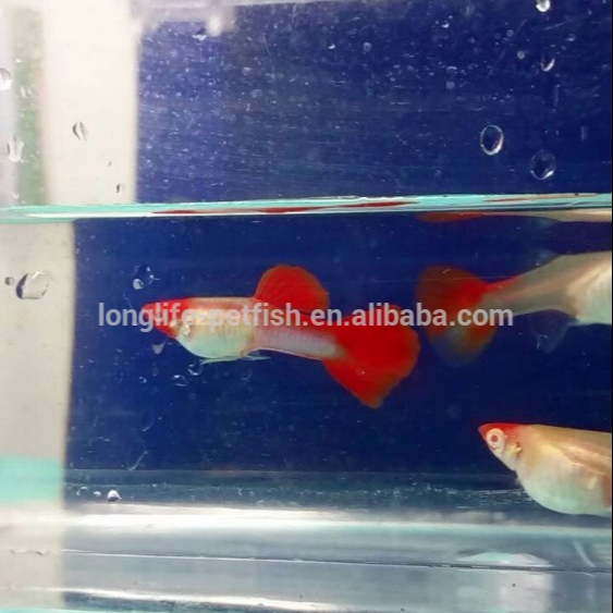 Taiwanese Live Tropical Guppy Fish