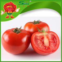 Wholesale prices tomatoes top quality fresh cherry tomatoes for sale