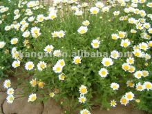 2012 Hi-Technology plant base Chrysanthemum paludosum seeds& Chrysanthemum seeds& paludosum daisy seeds