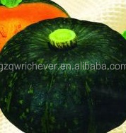green skin pumpkin F1 vegetable seeds with fresh strong virus resistance
