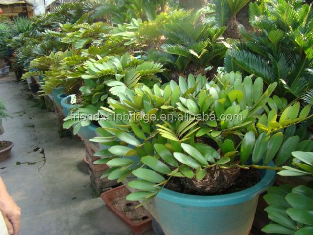 Foliage ornamental decorcative landscape bonsai plants of for Planta ornamental zamia