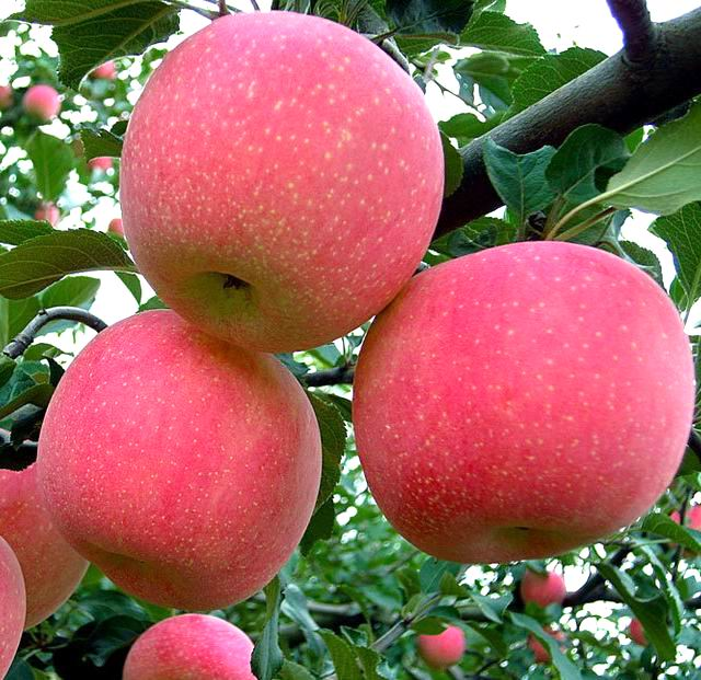High quality new crop Bulk Fresh Apples