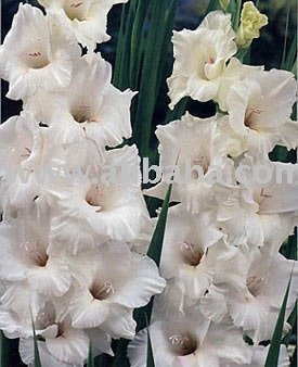 Gladiolus Bulbs: White Prosperity