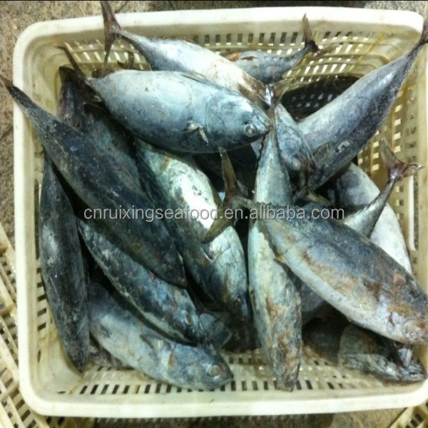 Whole round frozen frigate tuna 750G+ for canned