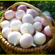 normal chinese elephant wholesale natural fresh white/red garlic