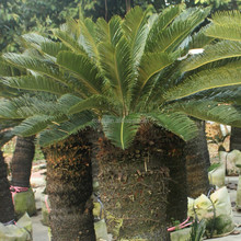 Artificial sago palm roots landscaping perennial plants