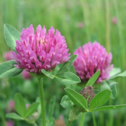 Pure natural plant extracts health food Trifolium pretense extract / red clover extract powder 40% Isoflavones Genistein