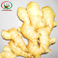 air dried ginger with export carton /dry ginger whole/air dry ginger exporters