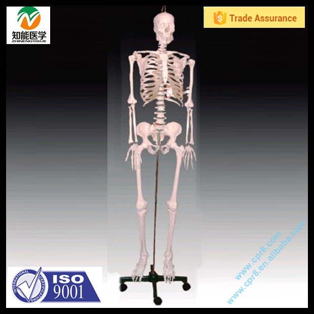Medical Anatomical Model 180cm Life Size Male Skeleton Models