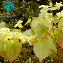 Hot sell Epimedium P.E. (extract) with Icariins