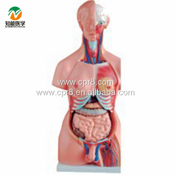 BIX-A1035 85 cm/23parts Medical Both Sexes Human Torso Model
