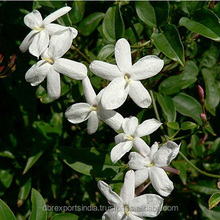 Jasmine Oil (Jasminum Grandifolrum) from India