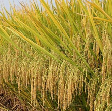 hot Sale High Quality Hybrid Rice Seed