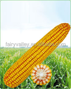 2016 Hybrid Yellow corn seeds For Growing-Huang Yu