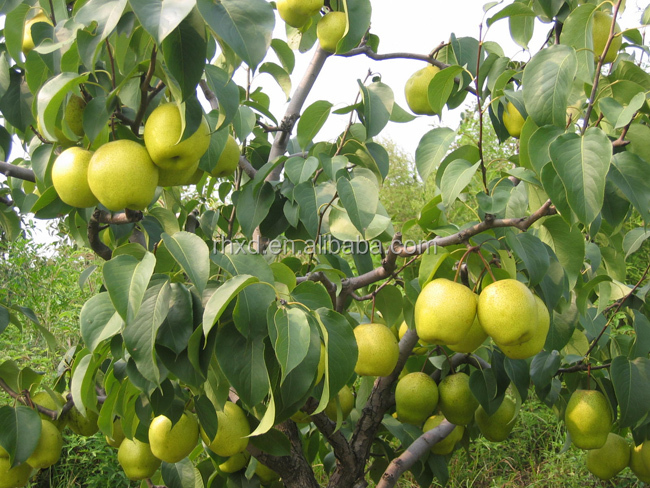 supply delicious honey chinese fresh pear